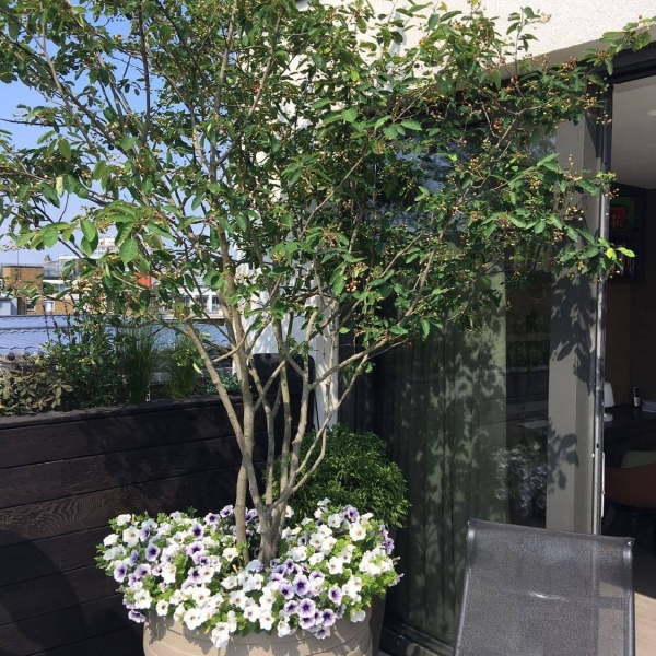Multstem Amelanchier tree in bespoke stone planters