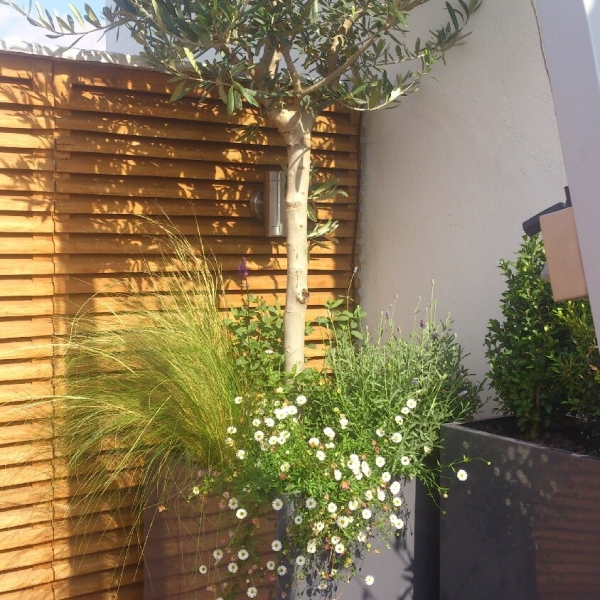 Olive tree in bespoke planter powder coated grey gloss finish