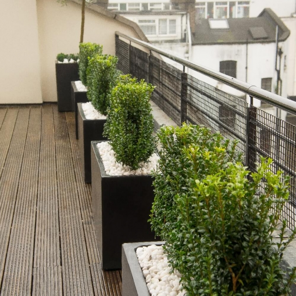 Roof terrace polystone planters Buxus hedge
