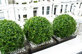 Buxus.balls.in.contemporary.planters